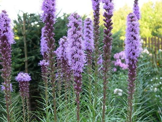 Liatris sierra vista growers hide description botanical name mightylinksfo